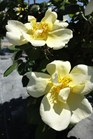 /Images/johnsonnursery/product-images/Rosa Sunny Knock Out2051413_1znulgfs9.jpg