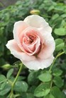 /Images/johnsonnursery/product-images/Rose-Brindabella-Dawn-004-website_ewt01k33s.jpg