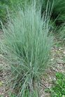 /Images/johnsonnursery/product-images/Schizachyrium scoparium_96sjur600.jpg