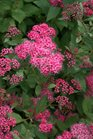 /Images/johnsonnursery/product-images/Spiraea Double Play Pink_vwnu7o244.jpg