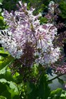 /Images/johnsonnursery/product-images/Syringa Miss Kim040312_wzq40375q.jpg