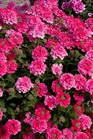 /Images/johnsonnursery/product-images/Verbena Endurascape Hot Pink 2_x5pbffci2.jpg
