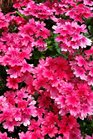 /Images/johnsonnursery/product-images/Verbena Superbena Coral Red061416_gbutt8rsv.jpg
