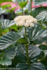 /Images/johnsonnursery/product-images/Viburnum All That Glows_2ht94xrpk.jpg