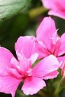 /Images/johnsonnursery/product-images/Vinca Soiree Double Pink_0a0rwqab4.jpg