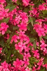 /Images/johnsonnursery/product-images/Vinca Soiree Kawaii Pink_o17hqttof.jpg