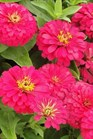 /Images/johnsonnursery/product-images/Zinnia Magellan Cherry_kpitjal2s.jpg