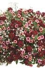 /Images/johnsonnursery/product-images/strawberry_sauce_hanging_basket_website_7kmtmi1ei.jpg
